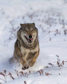 "beautiful-wildlife: ""Wolf, Eastern Europe by © d.arkhipov """
