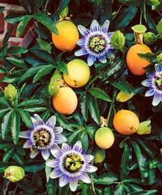 Image result for passion fruit flowers