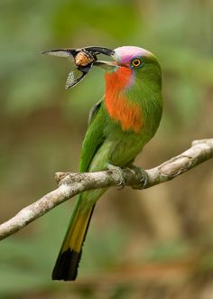 Red-bearded Bee-eater (male) - Nyctyornis amictus | Flickr - Photo Sharing!