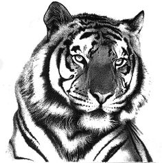 tiger drawings in pencil | Tiger In Pencil Drawing - Tiger In Pencil Fine Art Print