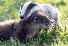 Is that a wolverine or a badger? Either way, it's adorable.