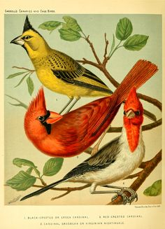 Cardinals | Cassell's Canaries & Cage-birds 1884