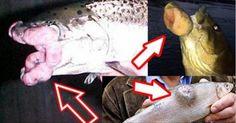 I pescatori del Pacifico del Nord mostrano prove: pesci con tumori, contaminati da radioattività.FOTO SHOCK http://jedasupport.altervista.org/blog/cronaca/esteri/pesci-con-tumori-pacifico-del-nord/