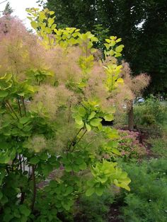 Cotinus coggygria 'Young Lady' (Pruikenboom)