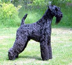 kerry blue terrier photo   Kerry Blue Terrier Dog Breed Puppies