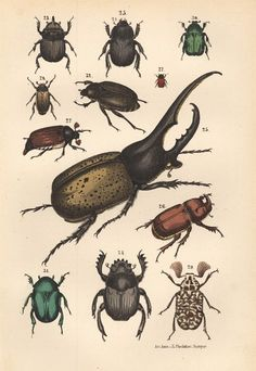 Insects are so intriguing and numerous. So much to learn about them and from them are so intriguing and numerous. So much to learn about them and from them. Botanical Drawings, Botanical Illustration, Botanical Prints, Illustration Art, Illustrations, Rhino Beetle, Beetle Insect, Sibylla Merian, Scientific Drawing