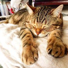 216.5.22 I am sleeping heavily. Do you hear my snoring? . 前回のへそ天日干しのみいくんにコメントありがとうございましたニャン . おはよーニャン といいニャがら  みいくん爆睡中ニャの みいくんのかにゃりの  いびきが聞こえるかニャ おてて伸ばしてイケてます #爆睡#22祭#22#ニャンコ祭 #イケニャン#americanshorthair #アメリカンショートヘア #cats#catstagram #catsofinstgram #funnycat#instcat #ig_cats#kawaii#katze#ねこあつめ#ペコねこ部#club_of_cats#チームダラダラ#関東にゃんこ部#ニャンズホストクラブ #みんにゃに元気を届け隊 #激ま部 #mm兄たん頑張って #ケン団長に元気玉をおくり隊 #Miekun by sayo_miekun