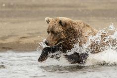 bears - Google Search