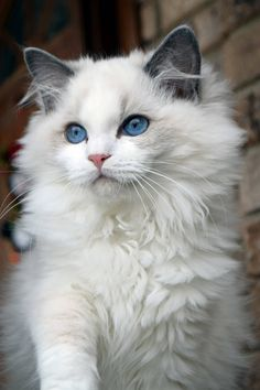 Ohemgee Nenya Now living in Thailand Blue bi color Ragdoll #ohemgee #cats #cat #fluffycat #ragdolls #ragdoll #kittens #blueragdoll #bluebicolor #blueeyes #ragdollcatcolors