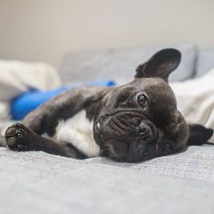 Sultry. Like a boss. . #frenchie #frenchbulldog #mrtinyeggs Bulldog Images, French Bulldog Pictures, Brindle French Bulldog, French Bulldogs, Cutest Animals, Animals And Pets, Future Children, Dog Photos, Four Legged