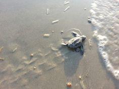 Kemp Ridley turtles.