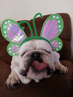 ❤ Floats like a Butterfly ❤ Posted on English Bulldog News on Facebook