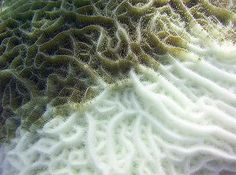 Coral Reef Emergency: 2,600 Scientists Call For Worldwide Rescue. Photo: Bleached coral on a Caribbean reef at Riviera Maya, Quintana Roo, Mexico (Photo © Christine Loew / Marine Photobank)