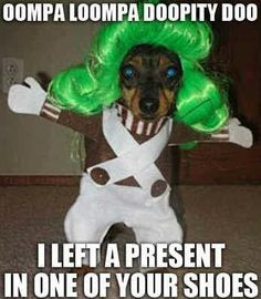 Oompa Loompa dog