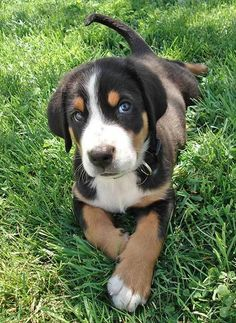 Greater Swiss Mountain Dog (photo from Google search), this might be a pup for X on his 4th or 5th birthday!