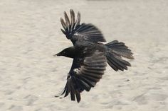 In captivity, both crows and ravens have been known to live for about thirty years - tops. In the wild, the average life span of a crow is 7-8 years.