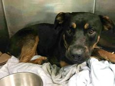 """7/29/17 On July 25, Toto was brought to the New York City Animal Care Center in Brooklyn. The one-year-old black and brown Rottweiler mix had been struck by a car resulting in a severe pelvic fracture. Despite his pain, Toto allowed all handling. The medical staff at the shelter reported the following: """"Allows all handling. Drinking …"""