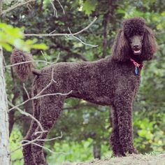 I like this poodle cut