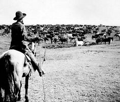 Photo of Cowboy tending over a herd of longhorn cattle.