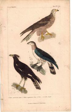 Birds Falco Falcon Predator 1837 Antique Engraved Cuvier Print