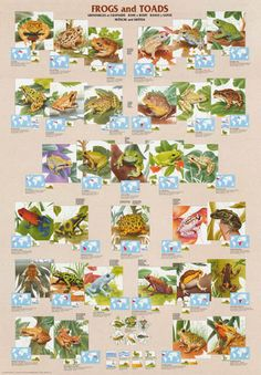 Frogs and Toads Amphibians Animal Education Poster 27x39 – BananaRoad