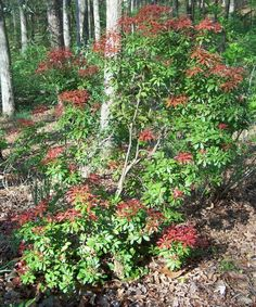 pieris japonica mountain fire behind pathway fence. Black Bedroom Furniture Sets. Home Design Ideas