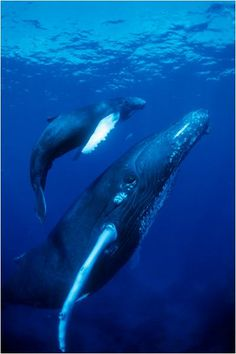 Did you know Whales that are found in both Northern and Southern hemisphere never meet or breed together. Their migration is timed so that they are never in breeding areas at the same time.