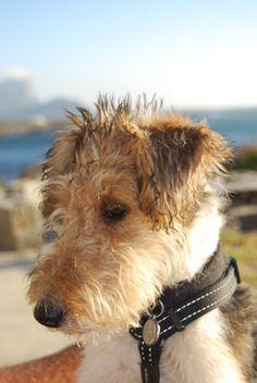 So ähnlich sieht mein süßer, eigenwilliger Terrier aus