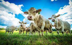 Download wallpapers Cow, field, Switzerland, green meadow, green grass