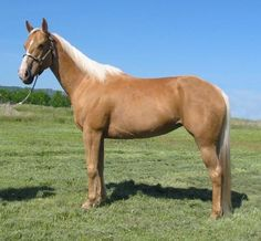Gorgeous Dark Golden Palomino 5 yr Quarter Horse mare, gentle & broke.I wan this Girl!
