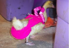 pet duck diapers | ... THAT IS ALL ABOUT BIRD DIAPERS, PLEASE VISIT IT FOR MORE INFORMATION