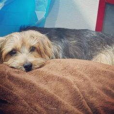 #dog#norfolkterrier#lovedog#pets#dogsoftheworld#nature#hound#instadog#doggie#puppy#doggy#puppies#smalldog#photooftheday#adorable#dogs_of_world#norfolkterriersofinstagram#topdogphoto#bestwoof#petsagram#terrier#woof_tastic#love#petscorner#doglovers#ilovedogs#dailyfluff