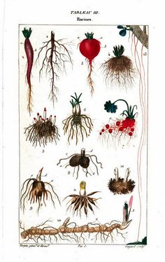 Painting of roots from Flore médicale, by F.P. Chaumeton, Chamberet et Poiret, illustrated by E.M., illlustrated by E. Panckoucke and P.J.F. Turpin, published by C.L.F. Panckoucke (Paris), 1820 (on Google Books, original from Lyon Public Library)