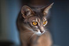 Абиссинская кошка: 25 тыс изображений найдено в Яндекс.Картинках