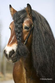Nordsvensk stallion