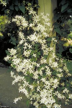 Grow fragrant, fall-blooming sweet autumn clematis (Clematis terniflora), plus learn how to train and prune the fast-growing vine with tips from HGTV.
