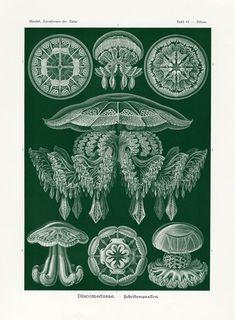 Black Jellyfish Print or Poster, Scientific Illustration by Famed Naturalist Ernst Haeckel, Art Nouveau Wall Art, Plate Discomedusae Medusa, Ernst Haeckel Art, Art Et Nature, Nature Prints, Natural Form Art, Art Nouveau Poster, Art Vintage, Nautical Art, Patterns In Nature
