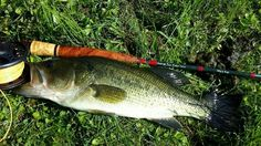Largemouth on the fly. Fishing Stuff, Fly Fishing, Largemouth Bass, Hunting, Fly Tying, Deer Hunting