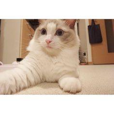 まーまちゃんごはんは? #cat #ragdoll #ilovecat #happy #myfamly #lol #ragdollcat #ragdollcats #japan #fukuoka #catstagram #kitty #cute #love #instacat #ilovecat #cute #animal #ragdollworld#neko #ラグドール #ねこ #猫 #子猫 #猫部 #ペコねこ部 #にゃんすたぐらむ #みんねこ #ふわもこ部 #ぬこ #猫バカ