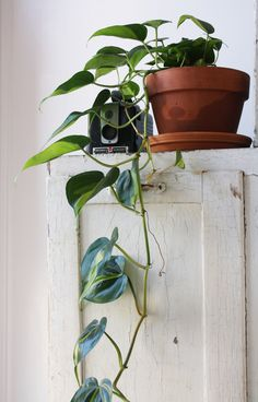 Do you know if you have safe indoor plants? Indoor plants are a great addition t. Do you know if you have safe indoor plants? Indoor plants are a great addition to the home! Big Leaf Plants, Plants That Repel Bugs, Green Plants, Pathos Plant, Water Plants Indoor, Outdoor Plants, Porch Plants, Living Room Plants, Small Gardens