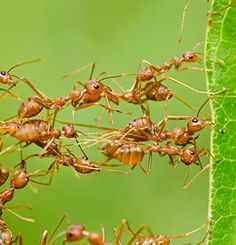 Social Lives of Insects: Some insects work together in elaborate colonies to form superorganisms. - See more at: http://ecologist.orkin.com/social-insects/#sthash.9ekU0fH0.dpuf