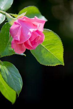 黒に協調されるピンクの薔薇