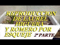 Como Reproducir Plantas De Laurel,Higuera y Romero Por Esquejes (2ª PART...