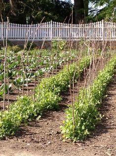 Simple branches for sweet peas to grow on at Mount Vernon Farmhouse Garden Potager Garden, Herb Garden, Vegetable Garden, Pea Trellis, Garden Trellis, Garden Gate, Growing Peas, Spring Break Vacations, Rabbit Garden