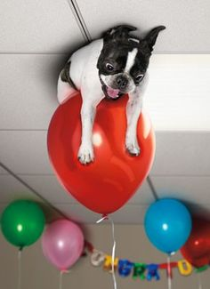 Seriously Funny Cards: Someone get me down! Cute Funny Animals, Funny Cute, Funny Dogs, I Love Dogs, Puppy Love, Cute Dogs, Boston Terrier Love, Boston Terriers, Seriously Funny
