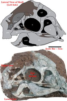 Left side (lateral view) of the skull and jaws of Huanansaurus.