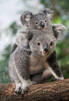 3177fc213 This Orphaned Koala is the cutest thing you will see today Koalas, Koala  Marsupial,