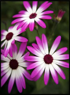 Purple Senetti by brianrosshaslam, via Flickr