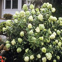 Limelight Hydrangea is a vigorous, dependable shrub and a prolific bloomer you can count on year after year.  Limelight Hydrangeas doesn't care about its soil pH and is substantially more drought-tolerant than other hydrangeas. It will mature to 6'-10 but can be pruned to any size. It can be used for specimen plants, hedges, borders, privacy areas. FULL TO PART SUN