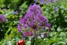 Laukkakin alkaa pullistella | Vesan viherpiperryskuvat – puutarha kukkii